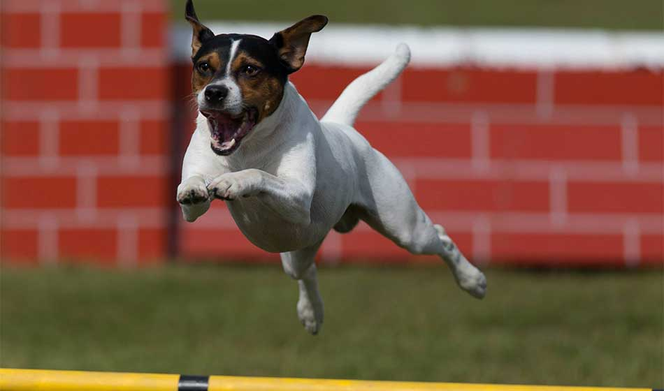 Hund i luftig svev over et agility hinder