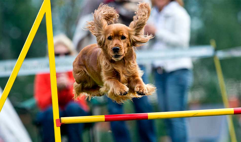 Agility - hund som hopper over et hinder